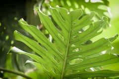 Tropiska naturliga gröna Monstera perforerade sidor med textur Abstrakt naturlig modell, exotisk botanisk bakgrund Royaltyfri Bild