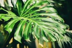 Tropiska naturliga gröna Monstera perforerade sidor med textur Dela-blad philodendron, tropisk lövverk Abstrakt begrepp Royaltyfri Fotografi