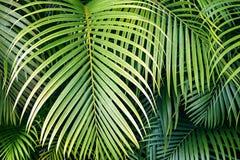 Tropiska palmblad, bakgrund för modell för djungelblad sömlös blom- Arkivbild