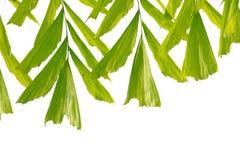 Tropiska palmblad på vit isolerad bakgrund arkivfoto