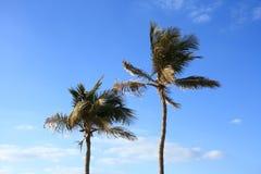 Tropiska palmträd Arkivfoto