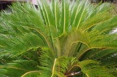 Tropiska palmträd för Cycascycad i gården Arkivbild