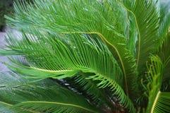 Tropiska palmträd för Cycascycad i gården Royaltyfri Fotografi