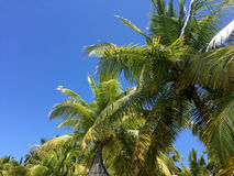 Tropiska palmträd och blå himmel Royaltyfria Foton