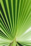 Tropiska palmträdtjänstledigheter Färglutning Skjuten lodlinje Härligt abstrakt begrepp för natur görade randig leaves Royaltyfri Fotografi