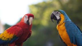 Tropiska papegojor. Loros. Guacamayos Royaltyfri Foto