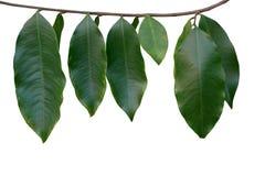 Tropiska rainforestgräsplansidor på träd fattar isolerat på vit arkivbild