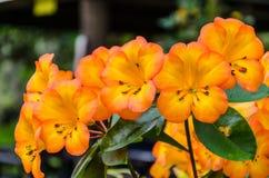 Tropiska rhododendronblommor Royaltyfri Bild