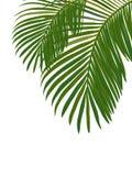 Tropiska sidor av palmträdet Arkivbilder