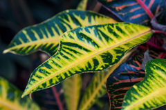 Tropiska sidor (codiaeumen) fotografering för bildbyråer
