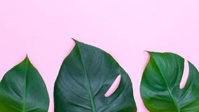 Tropiska sidor - monstera på rosa bakgrund Copyspace Royaltyfri Fotografi