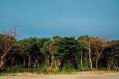 Tropiska träd för skog på den sandiga stranden av havet Tropiska träd på den sandiga havstranden Royaltyfri Fotografi