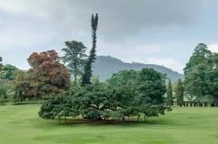 Tropiska träd i trädgården av Peradeniya Arkivbild