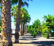 Tropiska växter, gömma i handflatan i parkera i Tenerife, kanariefågelöar, Spanien Fotografering för Bildbyråer