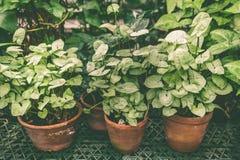 Tropiska växter i krukor, ämnet av floriculture, odling arkivbilder