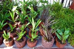 Tropiska växter i vulkaniskt vaggar krukor Arkivbild