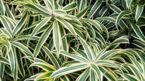 Tropiska växter med långa gröna och vita sidor fotografering för bildbyråer