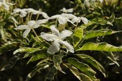 Tropiska vita blommor på en buske Arkivbild
