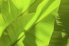 Tropiskt bananblad med ljus Abstrakt textur, exotisk grön bakgrund för djungel Royaltyfri Foto