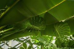 Tropiskt bananblad, Monstera sidor med textur Abstrakt modell, naturlig exotisk grön bakgrund Royaltyfri Fotografi