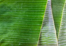 Tropiskt bananblad som förbereder sig för asiatiskt hantverk som Krathong, matbehållare arkivfoton
