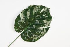 Tropiskt blad av den Monstera växten som isoleras på vit arkivfoton