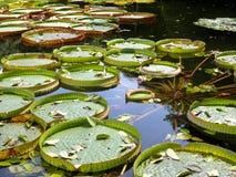 Tropiskt blad för jätte- vatten Royaltyfria Bilder