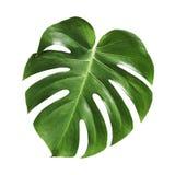 Tropiskt blad för Monstera deliciosa som isoleras på vit bakgrund arkivbild