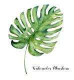 Tropiskt blad för vattenfärg av monsteraen Räcka den målade vintergröna vändkretsväxten som isoleras på vit bakgrund _ royaltyfri illustrationer
