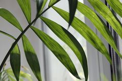 tropiskt blad, stor lövverk, abstrakt grön textur, closeup mot fönstret royaltyfria foton