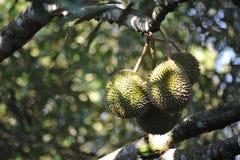 tropiskt durianfruktträd Royaltyfri Foto