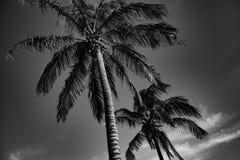 Tropiskt gömma i handflatan svartvitt arkivfoton