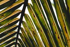 Tropiskt grönt kokosnötblad arkivfoto