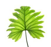 Tropiskt isolerat philodendronblad arkivfoto