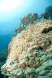 tropiskt korallbildande hard Royaltyfria Bilder