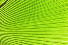 Tropiskt ljus - det gröna bladet gömma i handflatan Abstrakt naturlig textur, exotisk geometrisk grön bakgrund Royaltyfria Foton
