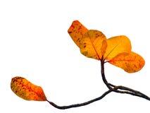 Tropiskt mandelblad (den Terminalia catappaen) Royaltyfria Bilder