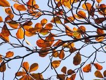 Tropiskt mandelblad (den Terminalia catappaen) Arkivbilder