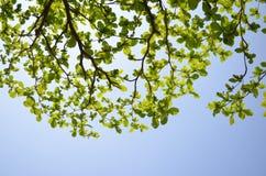 Tropiskt mandelträd Arkivbilder