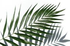 Tropiskt palmträdblad på en vit bakgrund Minsta begrepp royaltyfri bild