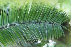 Tropiskt Phoenix växtblad med bokeh, ljus, solig dag Abstrakt textur, naturlig exotisk djungelgräsplanbakgrund Arkivbild