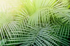Tropiskt Phoenix växtblad med ljus Abstrakt textur, naturlig exotisk djungelgräsplanbakgrund Fotografering för Bildbyråer