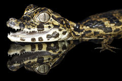 tropiskt regn för gator för skog för alligatoramazon cayman arkivfoto