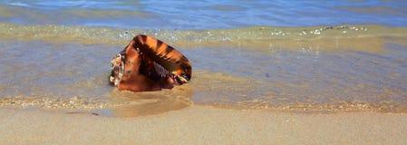 tropiskt strandhavsskal Arkivfoto
