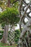 Tropiskt träd av fikusmicrocarpafamiljen med en ovanligt vriden stam royaltyfri foto