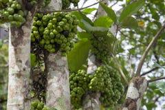 Tropiskt träd med den vita stammen och det gröna bärcloseupfotoet Jabuticaba trädcloseup Vintergrönt träd med frukter arkivfoton