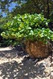 Tropiskt träd på en strand Arkivfoton