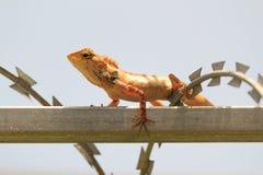 Tropiskt trädgårds- staket Lizard, versicolor som Calotes vilar på ett metallstaket royaltyfri fotografi