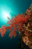 Tropiskt undervattens- landskap i Röda havet. Royaltyfri Bild