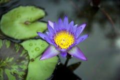 tropiskt vatten för lilja Arkivbild